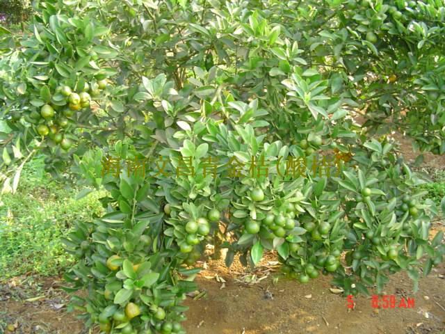 用来做酸柑水卖;海南青金桔为常绿灌木